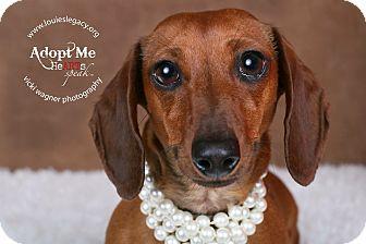 Dachshund Dog for adoption in Cincinnati, Ohio - Schotzie