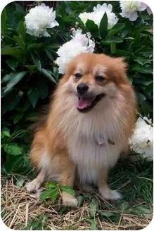 Pomeranian Dog for adoption in McArthur, Ohio - PARKER