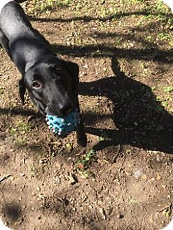 Labrador Retriever Mix Dog for adoption in Brattleboro, Vermont - Oceans 11
