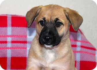 Shepherd (Unknown Type)/Cattle Dog Mix Puppy for adoption in Los Angeles, California - Bluedini