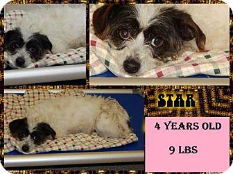Standard Schnauzer/Westie, West Highland White Terrier Mix Dog for adoption in Plano, Texas - STAR