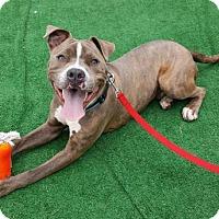 Adopt A Pet :: Diggs - Perth Amboy, NJ