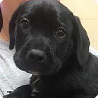 Adopt A Pet :: Boomer - Springdale, AR