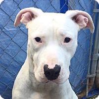 Adopt A Pet :: Marley(DEAF) - Chicago, IL