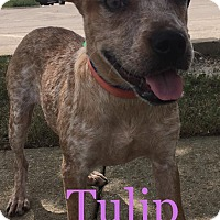 Australian Cattle Dog/Boston Terrier Mix Puppy for adoption in Sugar Grove, Illinois - Tulip