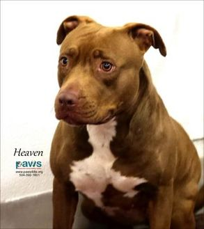 American Pit Bull Terrier Mix Dog for adoption in Belle Chasse, Louisiana - Heaven