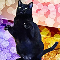 Domestic Shorthair Cat for adoption in Pineville, North Carolina - Cosmo