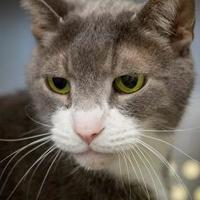 Domestic Shorthair/Domestic Shorthair Mix Cat for adoption in Baltimore, Maryland - Parker 2