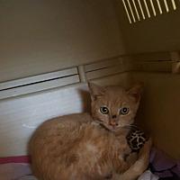 Adopt A Pet :: LION - Bridgewater, NJ