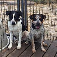 Adopt A Pet :: Nicholas - Del Rio, TX