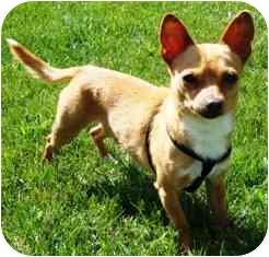 Chihuahua Dog for adoption in Osseo, Minnesota - ChiChi
