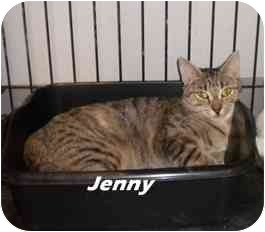Domestic Shorthair Cat for adoption in Jacksonville, Florida - Ginni