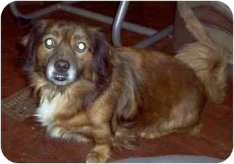 Pekingese/Corgi Mix Dog for adoption in Albany, New York - Brew