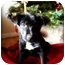 Photo 1 - German Shepherd Dog/Labrador Retriever Mix Puppy for adoption in Southington, Connecticut - Olivia