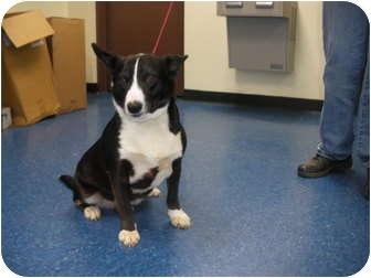 """Bull Terrier Mix Dog for adoption in MARION, Virginia - """"Otis"""""""