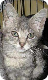 Domestic Shorthair Kitten for adoption in Houston, Texas - Scully