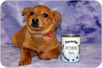 Labrador Retriever/Shepherd (Unknown Type) Mix Puppy for adoption in Broomfield, Colorado - CoCo