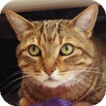 Domestic Shorthair Cat for adoption in Gilbert, Arizona - Paddy
