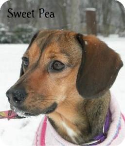 Hound (Unknown Type) Mix Dog for adoption in Warren, Pennsylvania - Sweet Pea