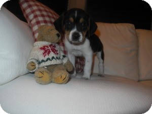 Beagle Puppy for adoption in Marlton, New Jersey - baby Walter