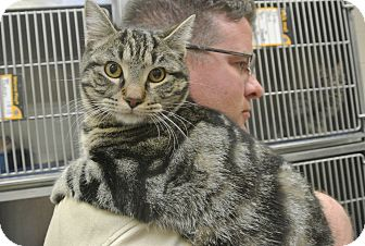 Domestic Shorthair Cat for adoption in white settlment, Texas - Chief
