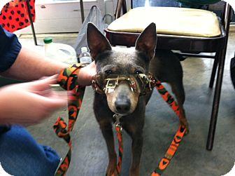 Miniature Pinscher/Blue Heeler Mix Dog for adoption in Richburg, South Carolina - Ace