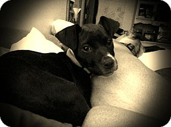 Boxer/American Bulldog Mix Puppy for adoption in Minneapolis, Minnesota - Sassafrass