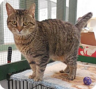 Domestic Shorthair Cat for adoption in Grinnell, Iowa - Bitty