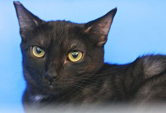 Domestic Shorthair Cat for adoption in Canoga Park, California - Chandler