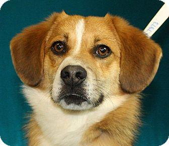 Sheltie, Shetland Sheepdog Mix Dog for adoption in Jackson, Michigan - Marty