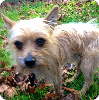 Terrier (Unknown Type, Medium) Mix Dog for adoption in Portland, Oregon - SHELDON