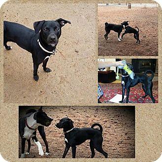 Italian Greyhound/Labrador Retriever Mix Dog for adoption in Sedona, Arizona - Shiny