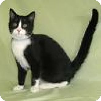 Domestic Shorthair Cat for adoption in Powell, Ohio - Allister