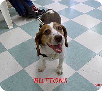 Beagle Dog for adoption in Ventnor City, New Jersey - BUTTONS