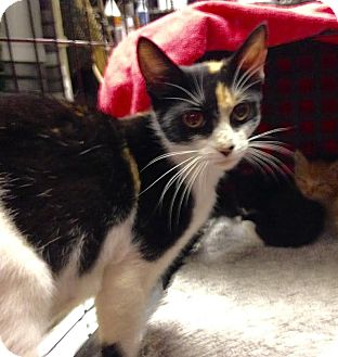 Calico Cat for adoption in East Brunswick, New Jersey - Lilly
