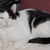 Domestic Shorthair Cat for adoption in Brainardsville, New York - Harry