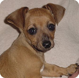 Dachshund/Chihuahua Mix Puppy for adoption in Los Angeles, California - Zoey and Gidget