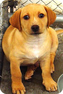Labrador Retriever/Boston Terrier Mix Puppy for adoption in Kalamazoo, Michigan - Papaya