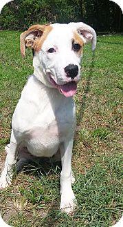 Hound (Unknown Type)/Labrador Retriever Mix Puppy for adoption in Boca Raton, Florida - Barbie