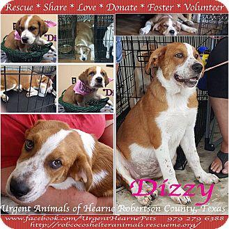 Great Pyrenees/Australian Shepherd Mix Puppy for adoption in Hearne, Texas - Dizzy