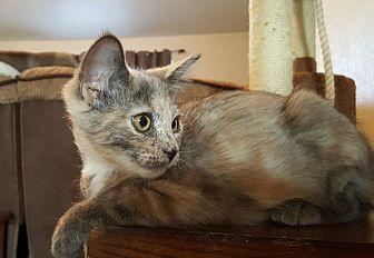 Domestic Shorthair Kitten for adoption in Yuma, Arizona - Debi-Dee (DD)
