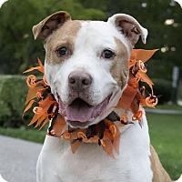 Staffordshire Bull Terrier/Boxer Mix Dog for adoption in Elyria, Ohio - Jax
