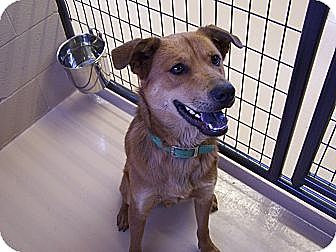 Retriever (Unknown Type)/Chow Chow Mix Dog for adoption in Yreka, California - Jack