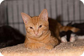 American Shorthair Kitten for adoption in Brooklyn, New York - Saffron
