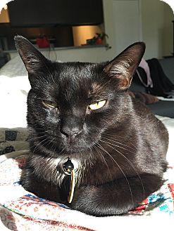 Domestic Shorthair Cat for adoption in Arlington, Texas - Gomez