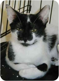 Domestic Shorthair Kitten for adoption in Cocoa, Florida - Moo-Moo