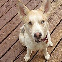 Husky/Shepherd (Unknown Type) Mix Dog for adoption in Baltimore, Maryland - Macey