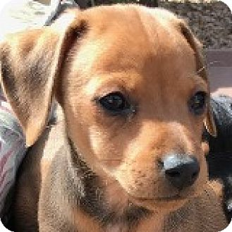 Dachshund Puppy for adoption in Houston, Texas - Benson Bechamel