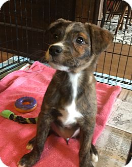 Hound (Unknown Type)/Retriever (Unknown Type) Mix Puppy for adoption in Jersey City, New Jersey - Blossom
