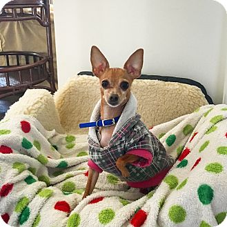 Chihuahua Dog for adoption in Bloomfield Hills, Michigan - Pippin - ADOPTED!
